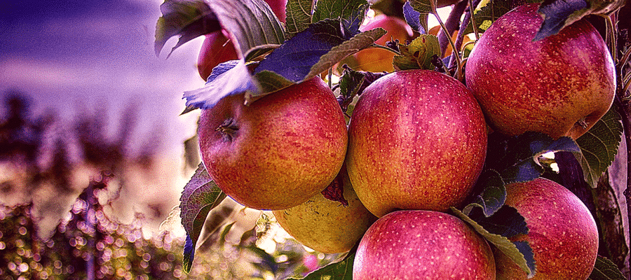 Visit an Apple Orchard