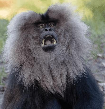 Lion_tailed_macaque_beard_ape