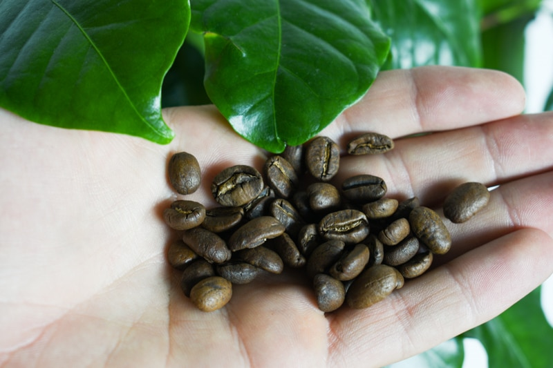 Driftaway coffee in hand next to coffee plant
